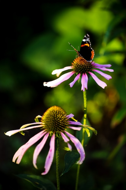 Эхинацея цветы в саду Premium Фотографии