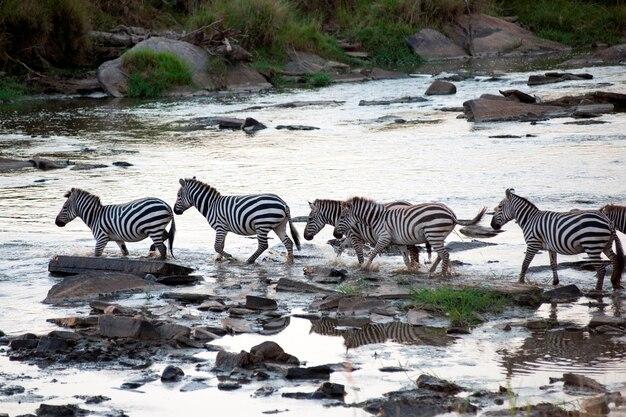 ケニアのゼブラ野生動物 Premium写真