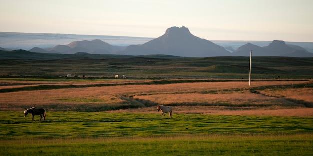 牧草地の風景アイスランド馬、遠くの山々 Premium写真