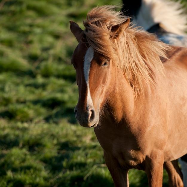 牧草地のアイスランドの馬 Premium写真