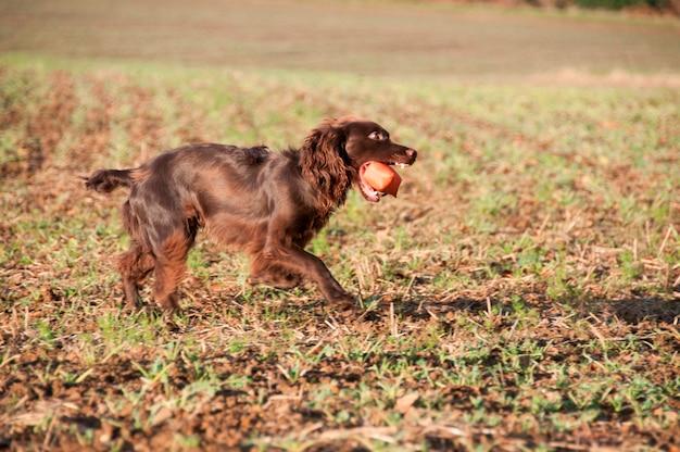 Собака с жевательной игрушкой Premium Фотографии