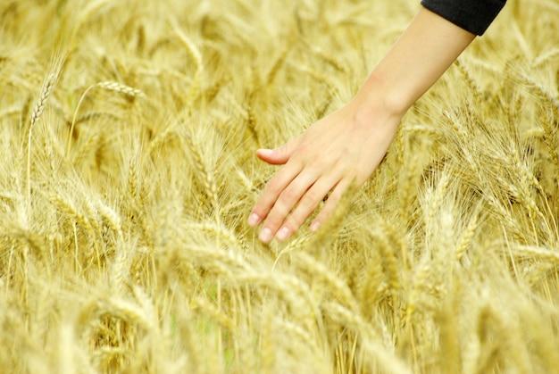 Пшеница Premium Фотографии