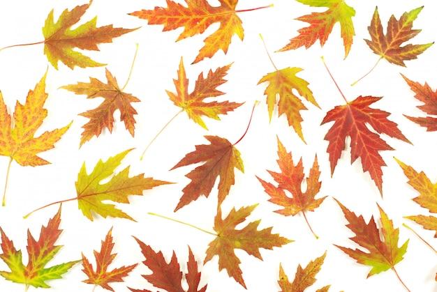 Осенние кленовые листья Premium Фотографии