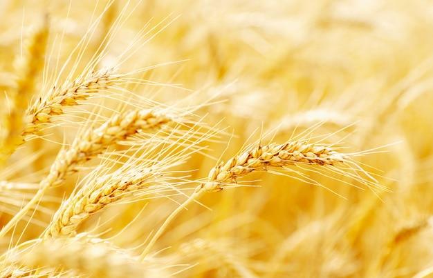 Поля пшеницы в конце лета полностью созрели Premium Фотографии