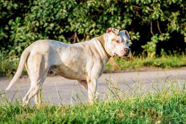 Белая собака породы питбуль на прогулке возле дороги в летнее утро Premium Фотографии