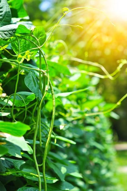 オーガニックヤードの長い豆の木、庭のヤングサニーピー植物 Premium写真