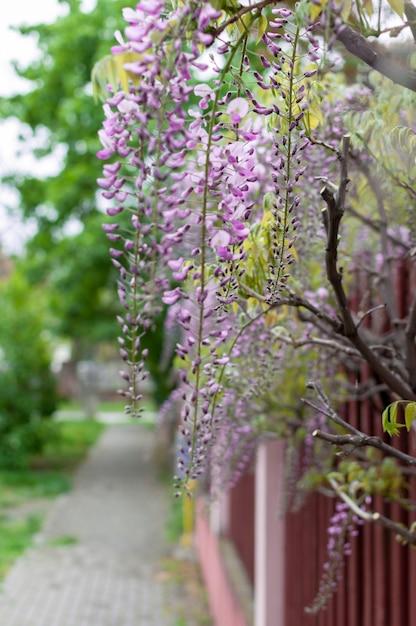 Крупный план глицинии цветы висят на заборе на улице Premium Фотографии