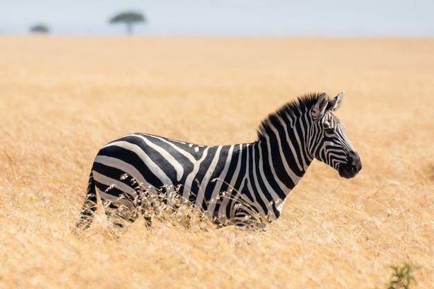 Зебра в африканской саванне, в масаи мара, кения Premium Фотографии
