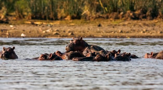 Найваша бегемоты. альфа самец и семья. кения, африка Premium Фотографии