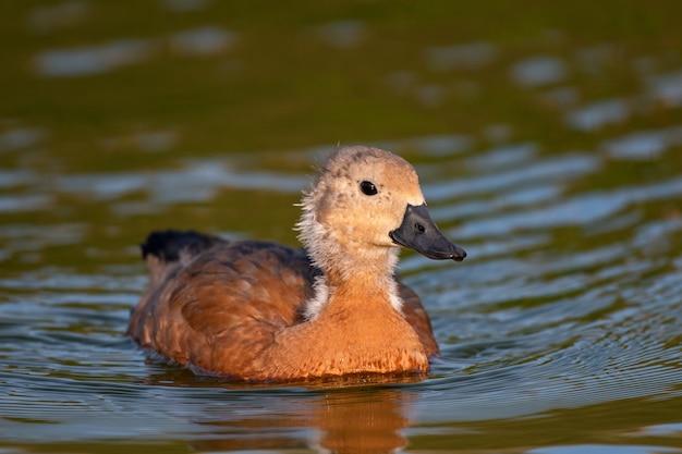 若いルディシェルダック、一羽の鳥が湖で泳ぎます。タドルナフェルギネア Premium写真