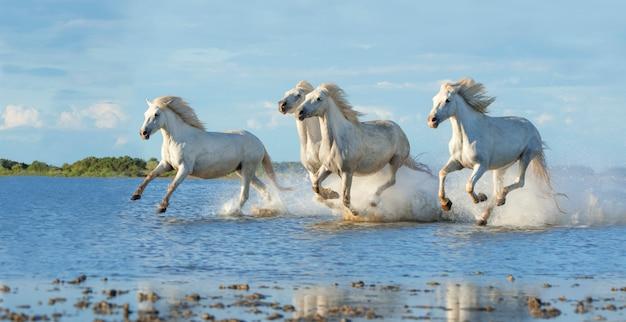 水の中を疾走するカマトゥグ馬 Premium写真