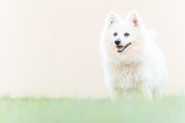 庭の芝生の上のかわいい白い犬 Premium写真