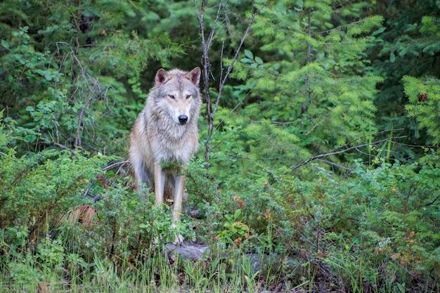 Тундровый волк позирует на валуне у опушки леса Premium Фотографии