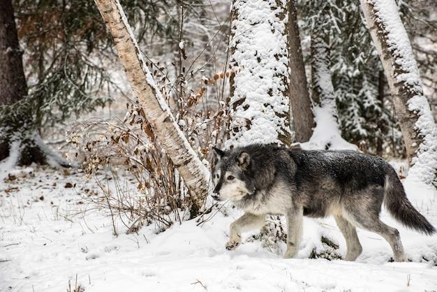 Волк тундры гуляя через березы Premium Фотографии