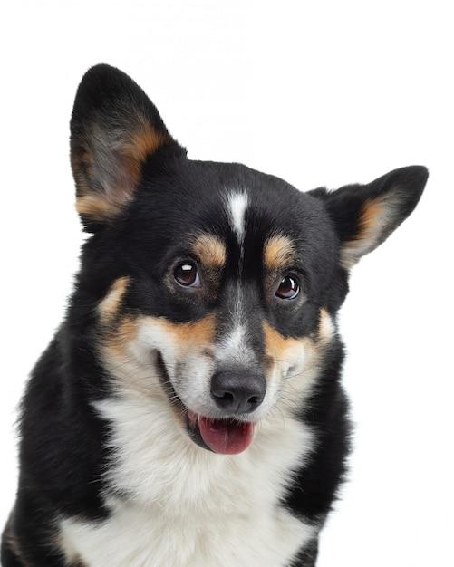 白い背景の上の犬の肖像画 Premium写真