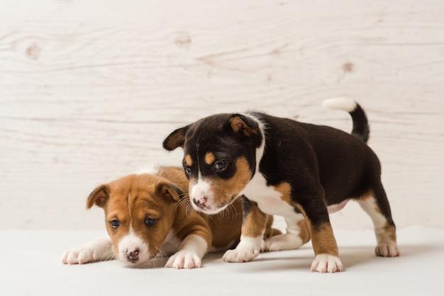 Два милых щенка басенджи Premium Фотографии