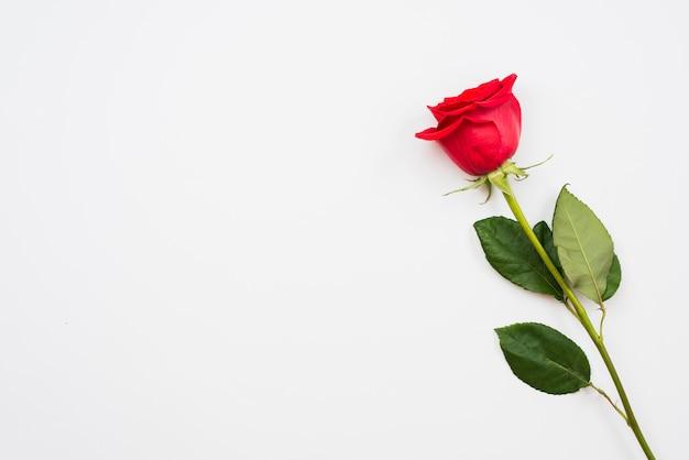 Одинокая красивая красная роза Premium Фотографии