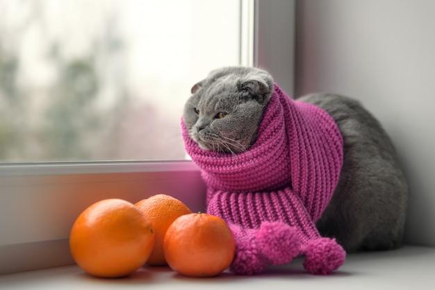 Кошка шотландской британской породы, завернутая в теплый шарф, смотрит в окно на снег Premium Фотографии