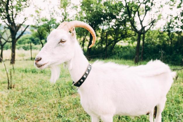 白いヤギのファームコンセプト 無料写真
