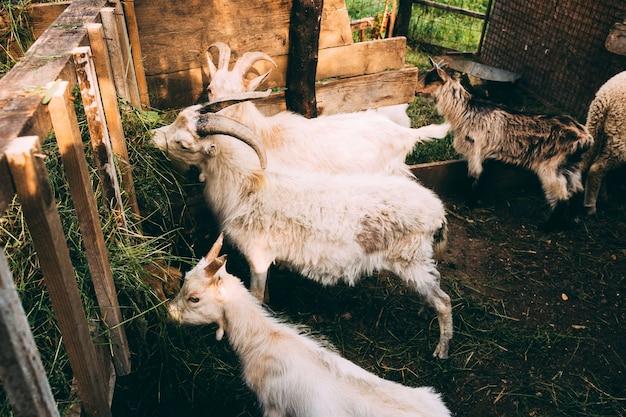ヤギのファームコンセプト 無料写真