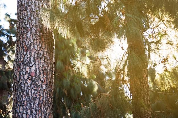 針葉樹林の太陽 無料写真
