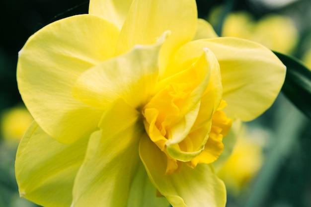 水仙花の極端なクローズアップ 無料写真