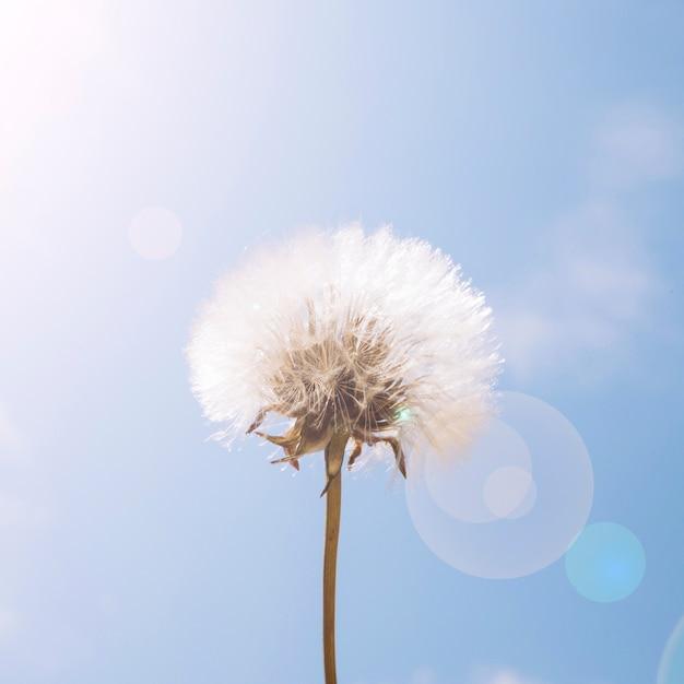 太陽の光、タンポポ、花、青、空 無料写真