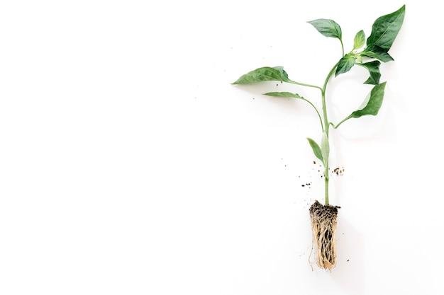 白い背景に根を持つ植物 無料写真