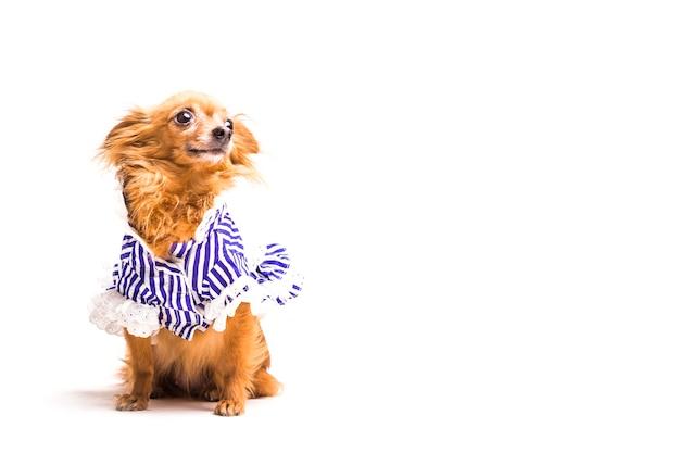 かわいいドレス茶色の犬は、白い背景に 無料写真