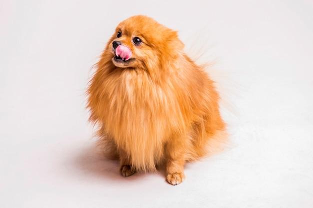 白い背景の上に舌をくっつける赤いスピッツ犬 無料写真