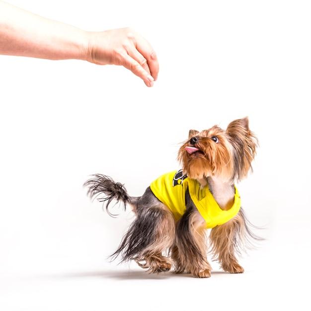 白い背景の上に人の手を見ているヨークシャーのテリア犬 無料写真