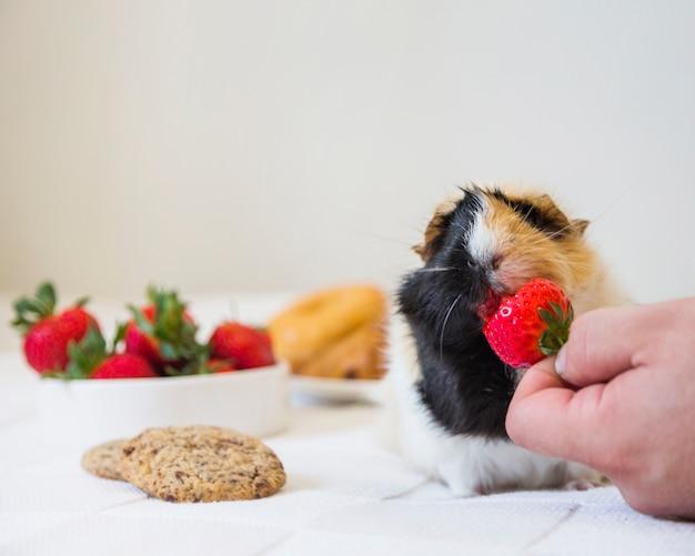 イチゴをウサギに与える人の手 無料写真