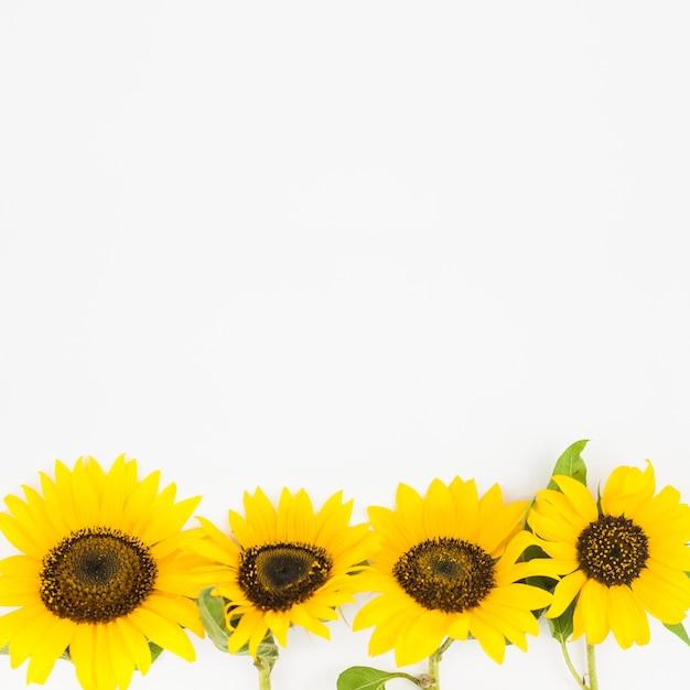 白い背景に黄色のひまわりで作られた底の境界線 無料写真