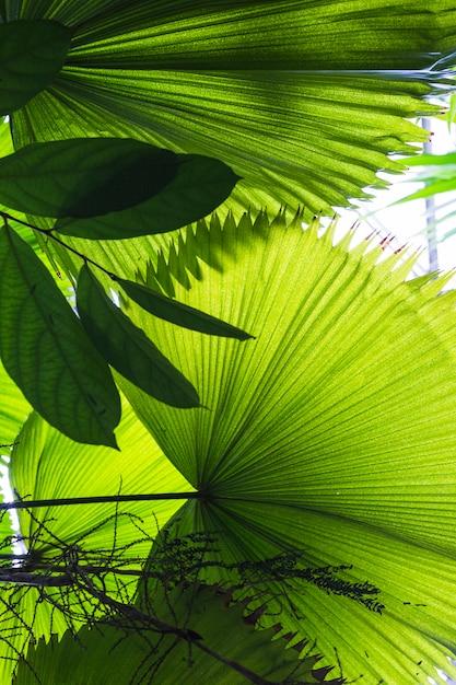 大きな椰子が扇形に葉 無料写真