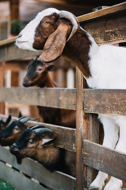 木製のフェンスから覗き込むヤギの側面図 無料写真