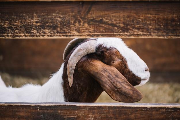 農場の木製の柵の後ろに立っているヤギのクローズアップ 無料写真