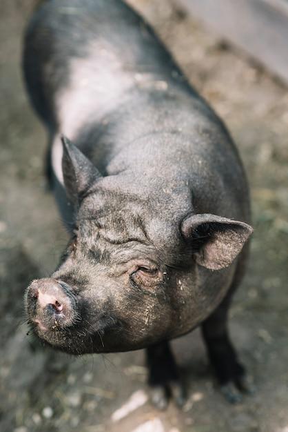 黒い豚の俯瞰図 無料写真