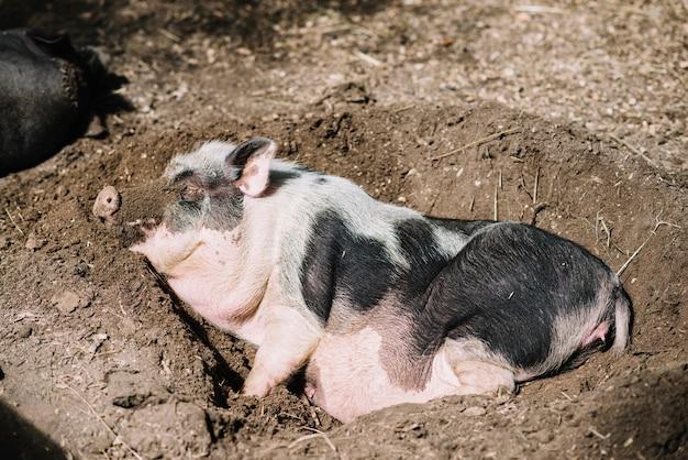 土壌で眠っているブタのクローズアップ 無料写真