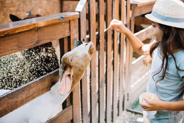 フェンスから山羊を覗いて山羊に食べ物を与える女の子のクローズアップ 無料写真