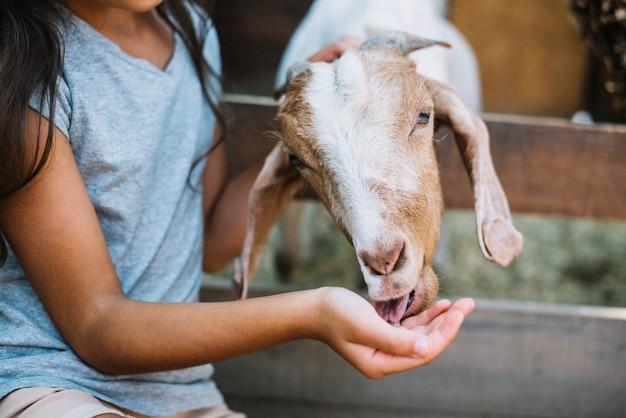 女の子の手から食べ物を食べるヤギのクローズアップ 無料写真