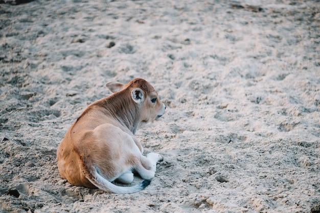 牛舎の土に座っている子牛 無料写真