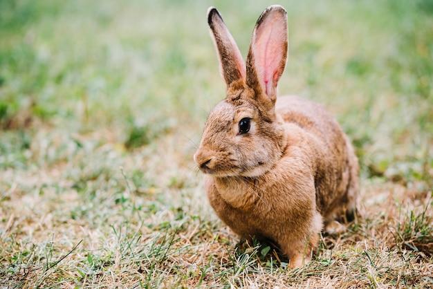 クローズアップ、茶色、ウサギ、大きな、耳、草の上に座る 無料写真