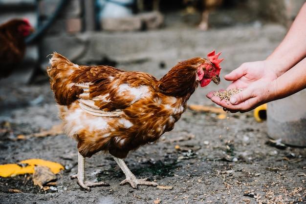農場の鶏に穀物を与える手のクローズアップ 無料写真
