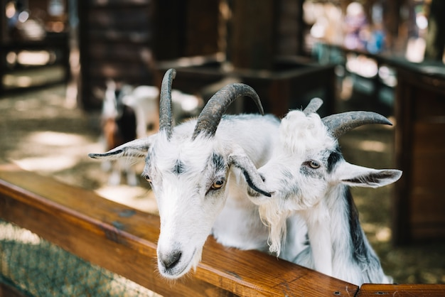 飼いならされた白い山羊のクローズアップ 無料写真