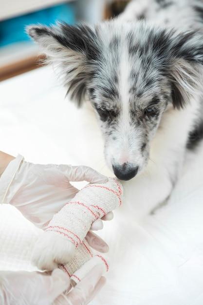 傷ついた犬のクローズアップは、その足と四肢に包帯 無料写真