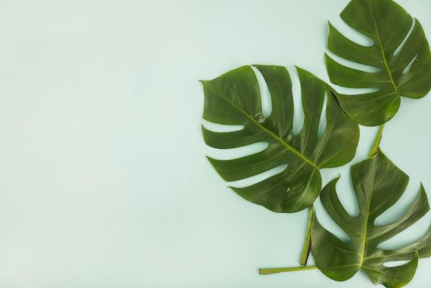 モンステラの葉 無料写真