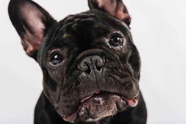 Композиция прекрасных домашних животных с бульдогом Бесплатные Фотографии