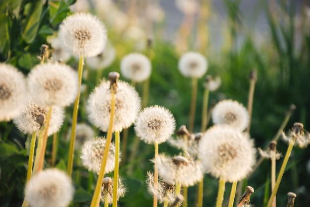 緑の芝生の近くで成長しているタンポポ 無料写真