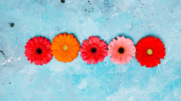 Яркие цветы герберы на синем столе Бесплатные Фотографии