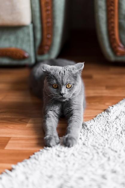 灰色の英国のショートヘアの猫が床にストレッチの正面図 無料写真